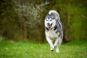 Gesundes Hundefutter für Siberian Huskies