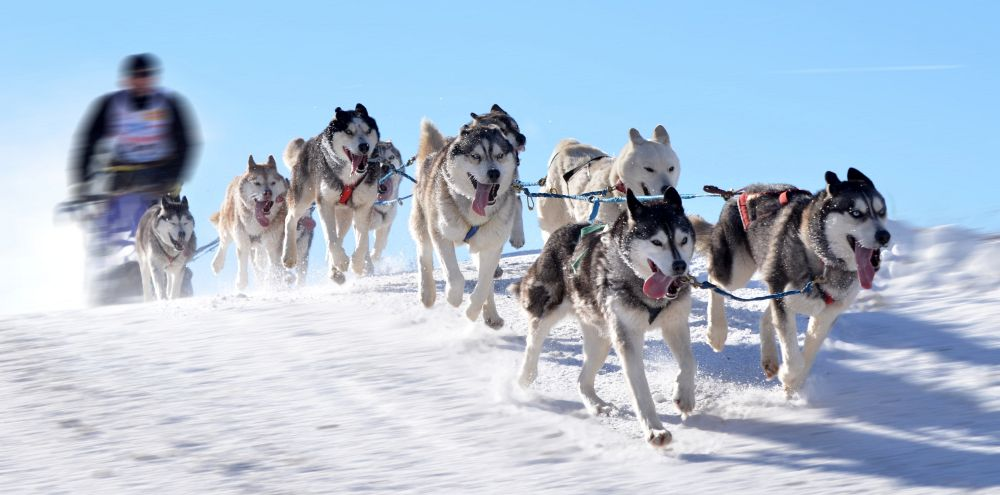 Husky Hunde im Schnee