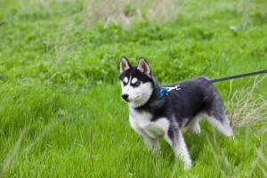 Husky Wesen