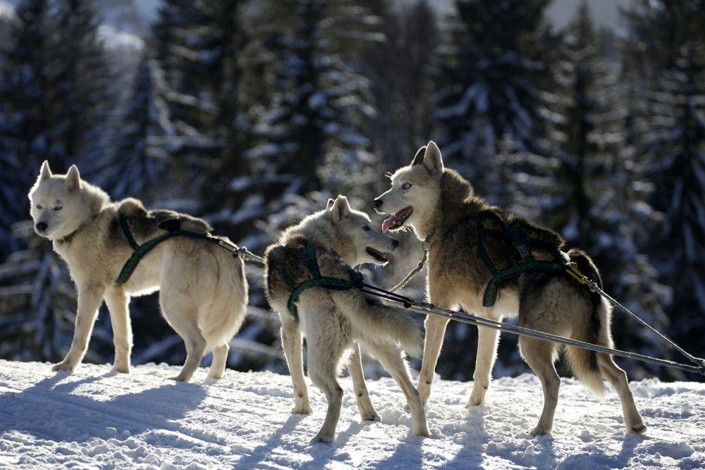 Streusalz im Winter - Gift für die Pfoten des Husky