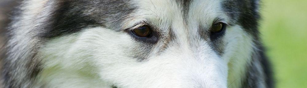 TOP_Hundeschule-Husky.jpg