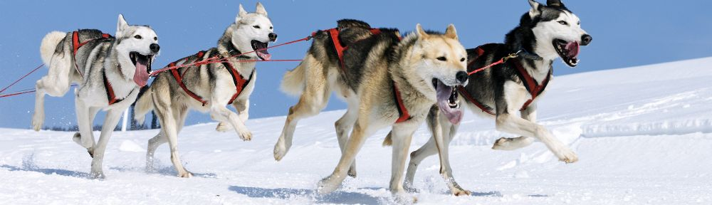 TOP_Husky-im-Schnee.jpg