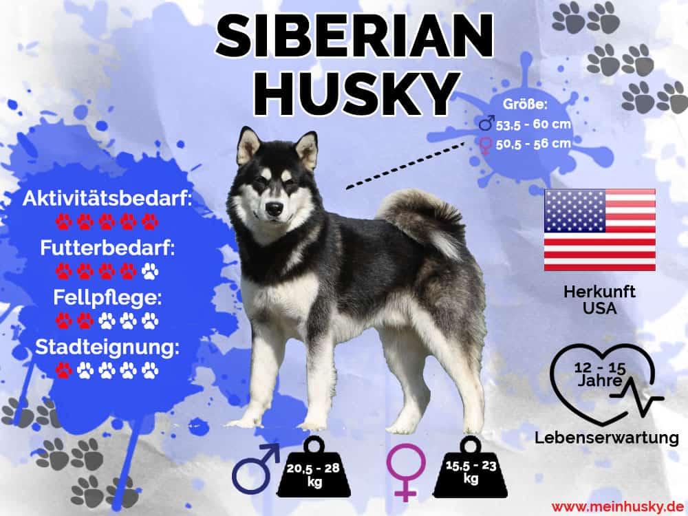 Siberian Husky Infografik