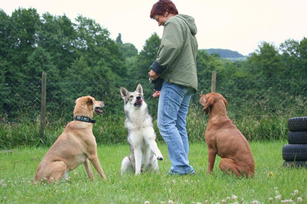 Husky in Hundeschule
