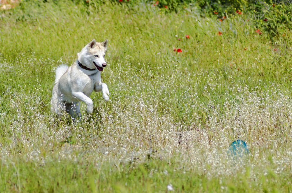 Husky mit Frisbee