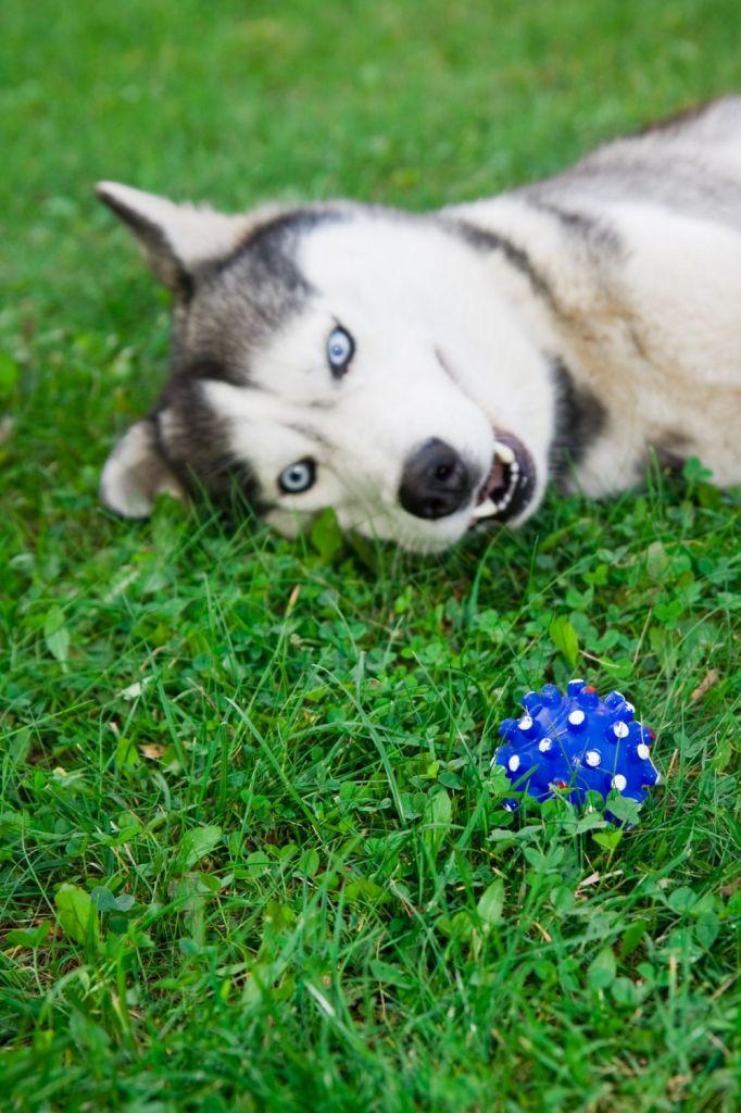 Husky mit Ballspiele körperlich auslasten