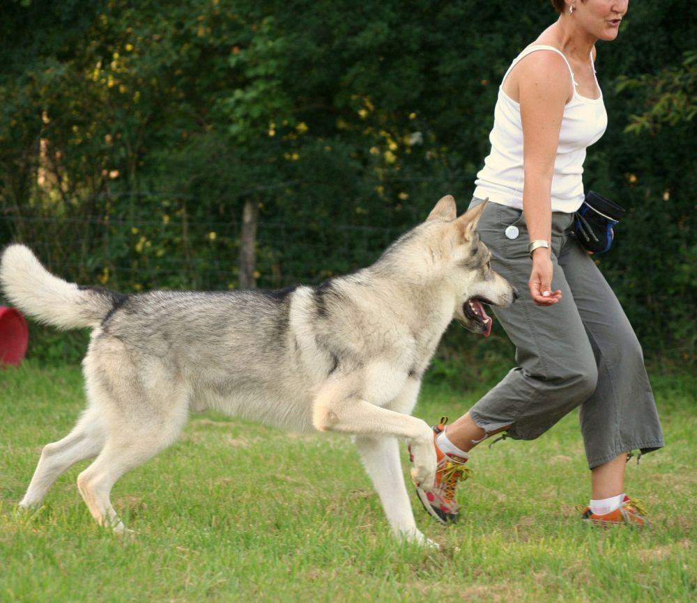 Lebenserwartung Husky durch Bewegung und Beschäftigung verlängern