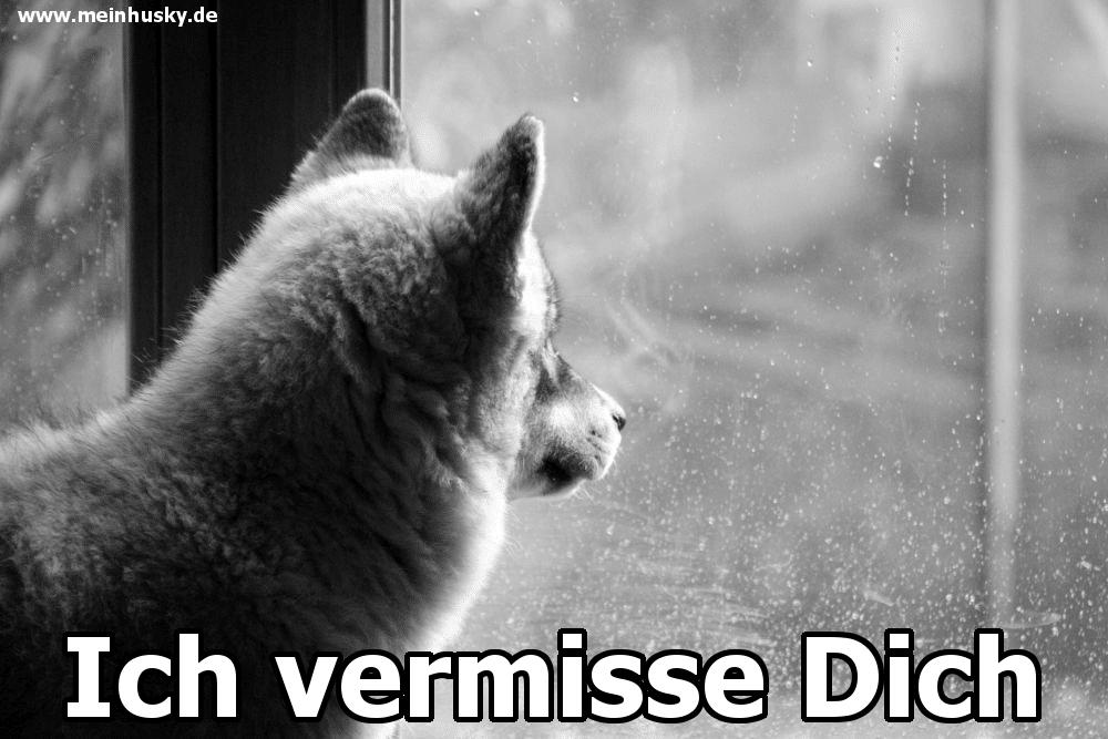Ein Husky schaut in das Fenster
