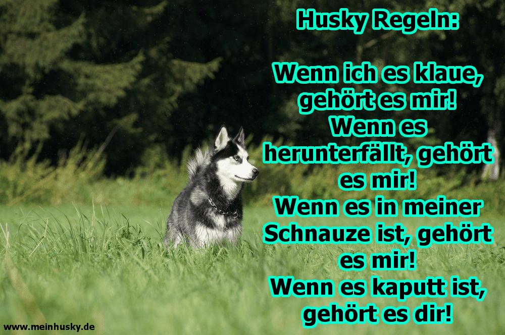 Ein Husky auf dem Rasen