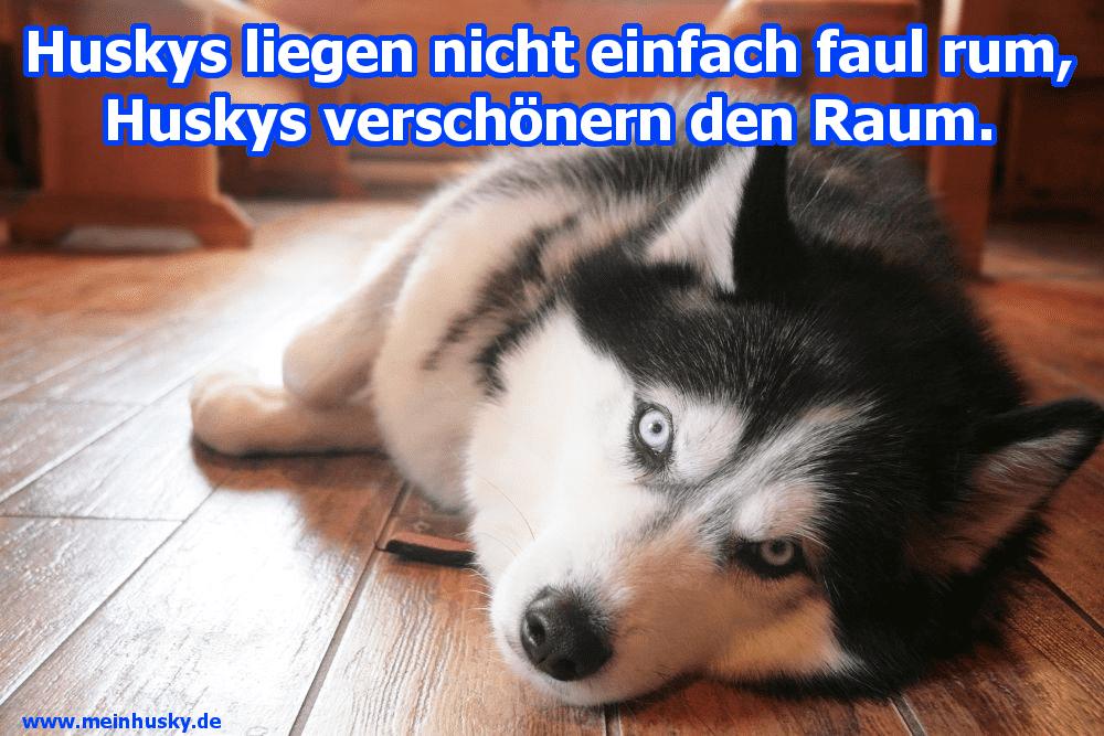 Ein Husky liegt auf dem Boden