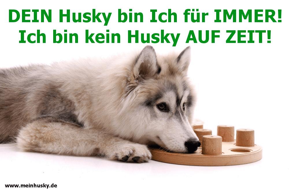 Ein Husky spielt mit seinem Spielzeug auf dem Boden