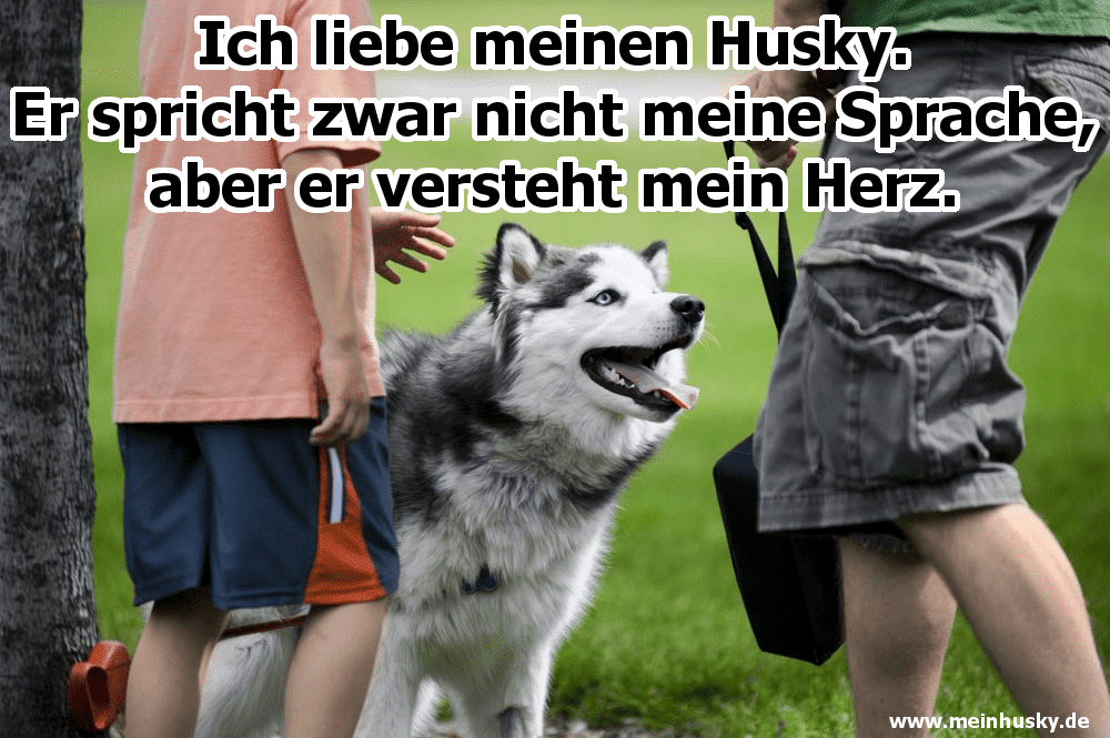 Ein Husky spielt mit seinem Besitzer