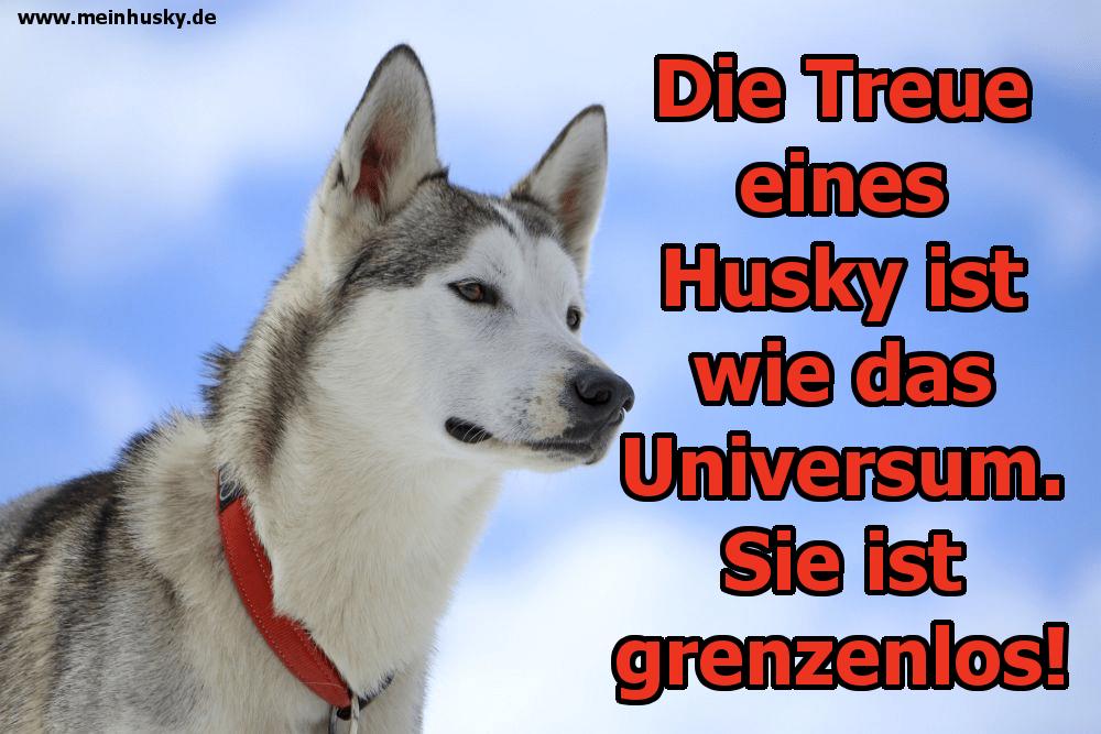 Ein schöner Husky sieht den Himmel an