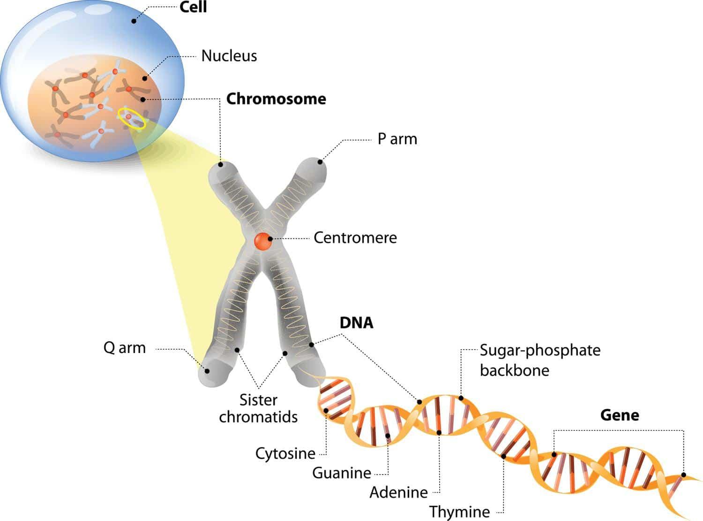 Erbkrankheiten werden von den Eltern an die Welpen über die DNA weitergegeben.