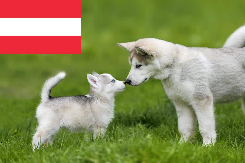 Husky Welpen in Österreich