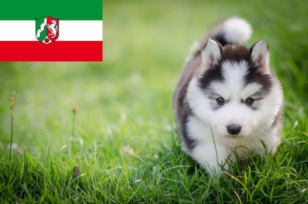 Husky Züchter in NRW, Nordrhein-Westfalen - MeinHusky.de
