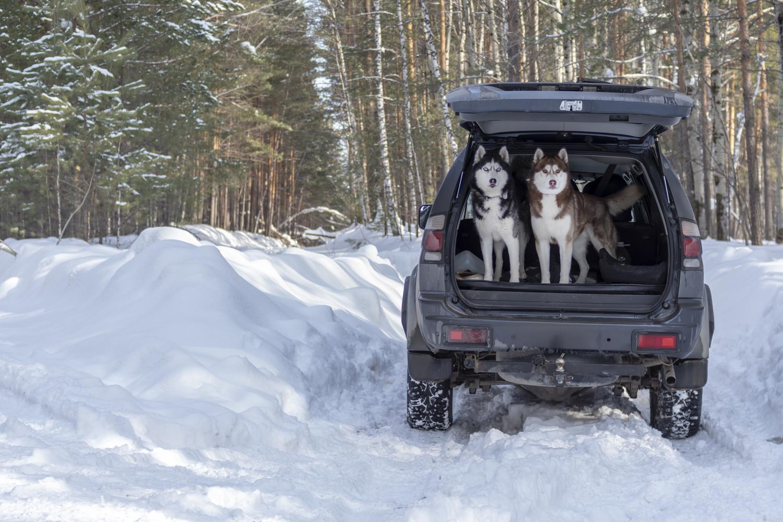 Husky im Auto mitnehmen